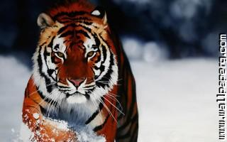 Ow tigers wild animals awesome wallpaper
