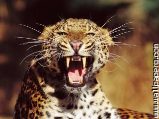 Rds teeth wild animals awesome wallpaper ,wide,wallpapers,images,pictute,photos