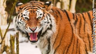 Ts tigers wild animals awesome wallpaper