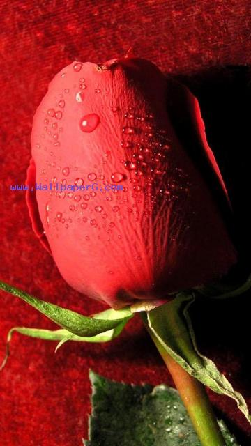 Happy rose day 01