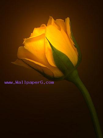 Yellow rose sign of frien