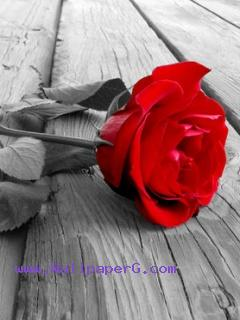 Red rose ultimate sign of love