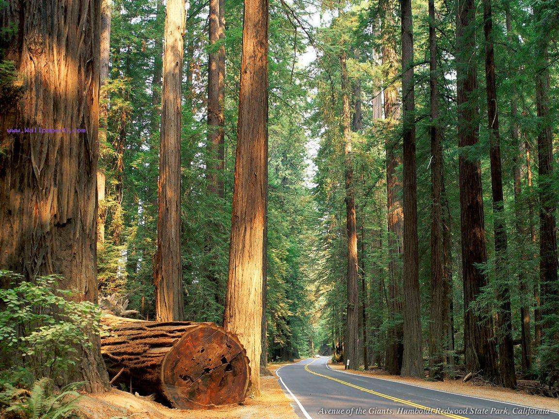 Avenue of the giants ,wide,wallpapers,images,pictute,photos