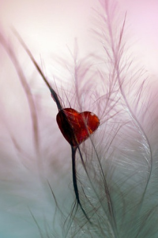 Feather red heart