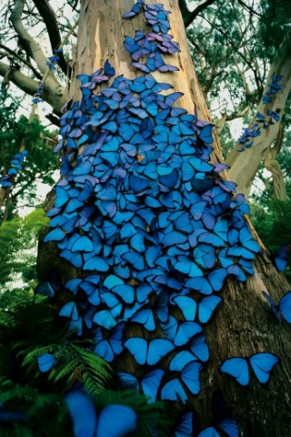 Blue beautiful butterflys