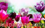 Tulips in spring ,wide,wallpapers,images,pictute,photos