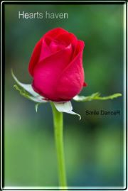 Single rose ,wide,wallpapers,images,pictute,photos