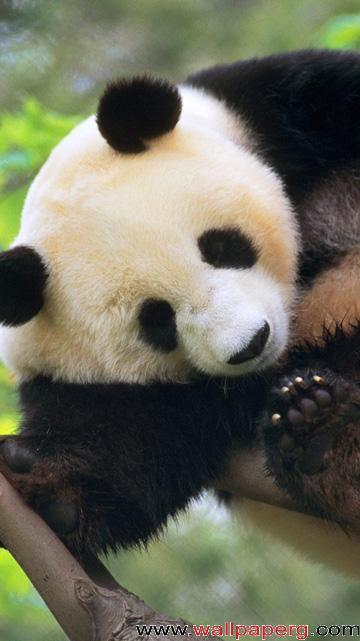 Sleeping panda ,wide,wallpapers,images,pictute,photos