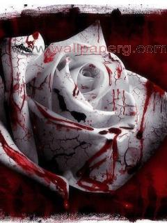 Red blood of rose ,wide,wallpapers,images,pictute,photos