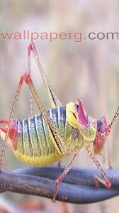grasshopper  ,wide,wallpapers,images,pictute,photos