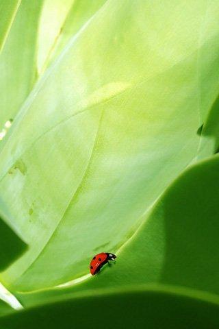Green coccinella