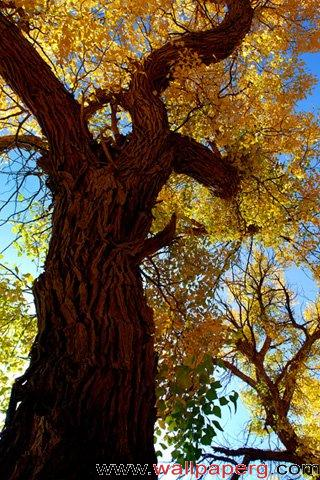 Ginkgo tree ,wide,wallpapers,images,pictute,photos
