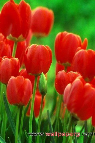 Red tulips ,wide,wallpapers,images,pictute,photos