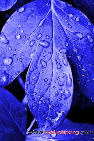 Blue leaves ,wide,wallpapers,images,pictute,photos