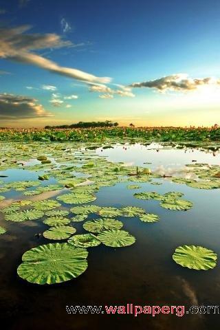 Leaf lotus