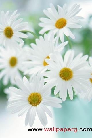 Daisies ,wide,wallpapers,images,pictute,photos