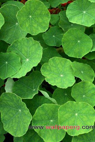 Lotus leaf ,wide,wallpapers,images,pictute,photos