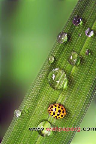 Ladybug on leaf ,wide,wallpapers,images,pictute,photos