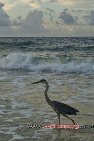 Swan walking