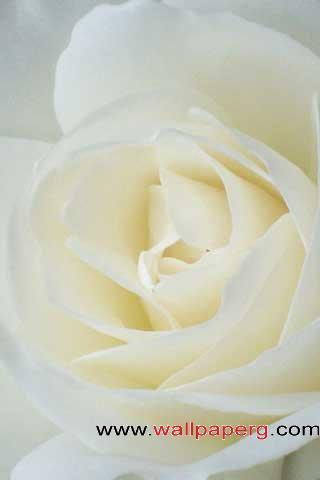 Whiteflowers ,wide,wallpapers,images,pictute,photos