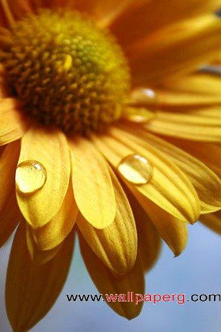 Dew sunflower