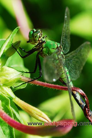 Dragonfly closeup ,wide,wallpapers,images,pictute,photos