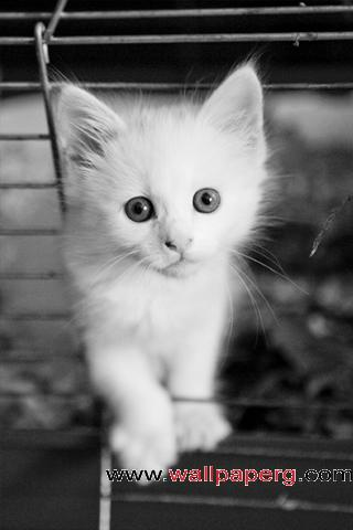 White kitten ,wide,wallpapers,images,pictute,photos