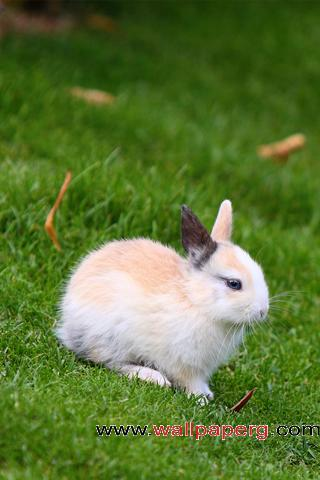 Little rabbit ,wide,wallpapers,images,pictute,photos