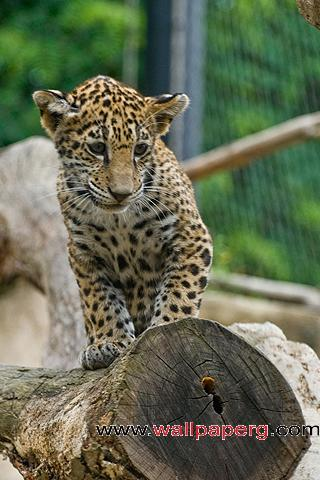 Small leopard cub ,wide,wallpapers,images,pictute,photos