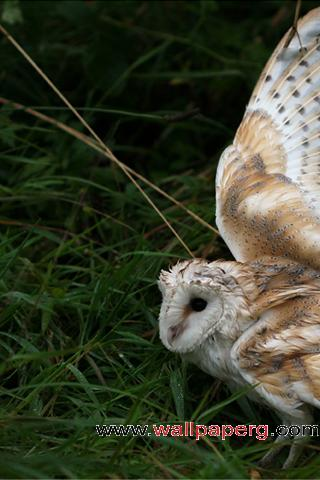 Wounded owl ,wide,wallpapers,images,pictute,photos