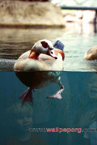 Swimming duck ,wide,wallpapers,images,pictute,photos