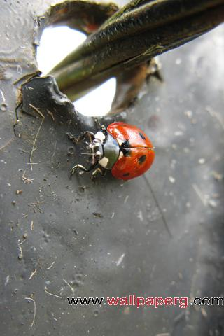 Ladybug closeup ,wide,wallpapers,images,pictute,photos