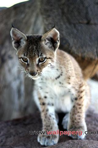 Baby bobcat ,wide,wallpapers,images,pictute,photos