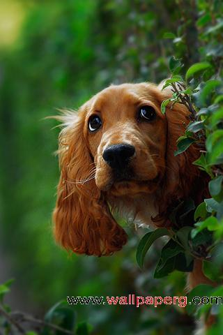 Curious dog ,wide,wallpapers,images,pictute,photos
