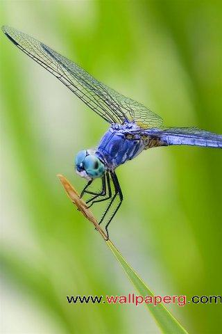Blue dragonfly ,wide,wallpapers,images,pictute,photos