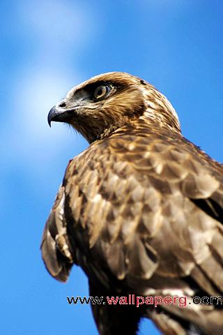 Falcon ,wide,wallpapers,images,pictute,photos
