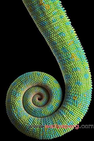 Chameleon tail ,wide,wallpapers,images,pictute,photos