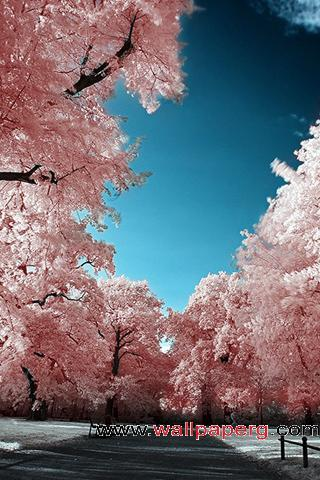Cherry blossoms park ,wide,wallpapers,images,pictute,photos