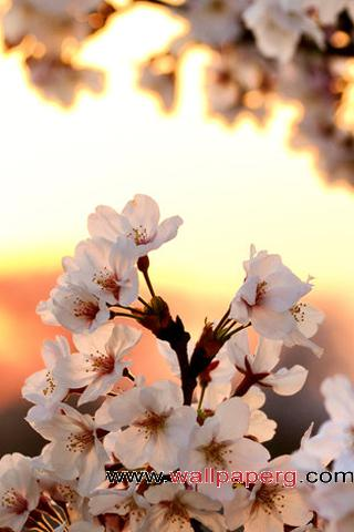 Sunrise blossom
