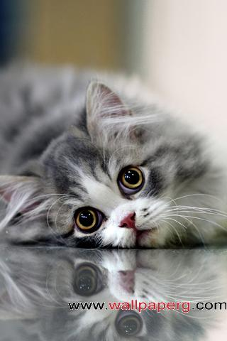 Grey cat ,wide,wallpapers,images,pictute,photos