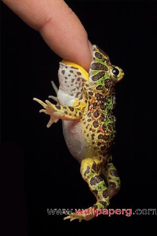 Pacman frog ,wide,wallpapers,images,pictute,photos