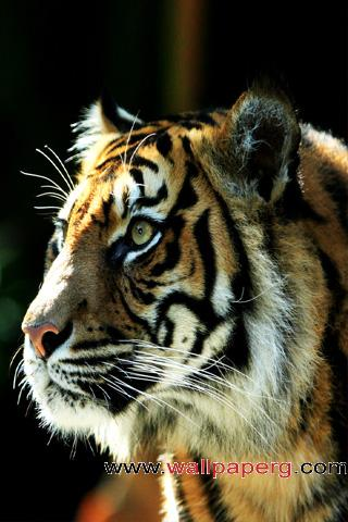 Sumatran tiger ,wide,wallpapers,images,pictute,photos