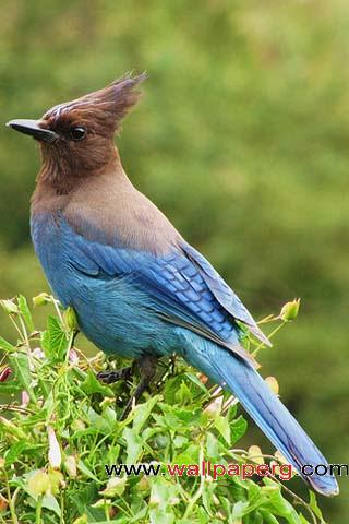 Blue bird ,wide,wallpapers,images,pictute,photos