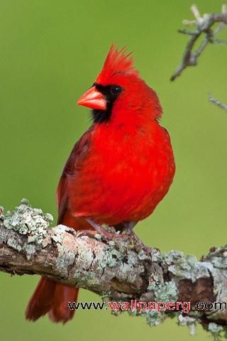 Cardinal ,wide,wallpapers,images,pictute,photos