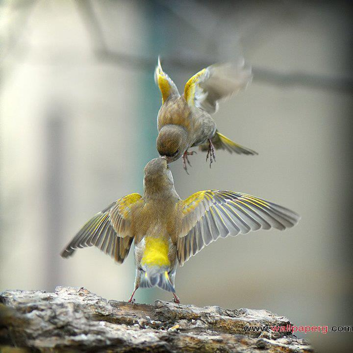 Bird love ,wide,wallpapers,images,pictute,photos