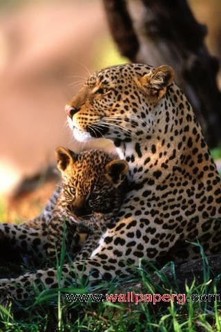 African leopard family ,wide,wallpapers,images,pictute,photos