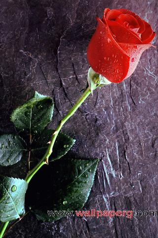 True red rose love forever