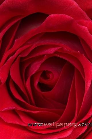 Rose petals flower ,wide,wallpapers,images,pictute,photos