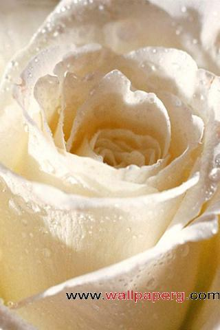 White rose for rose day