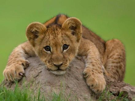 Download Baby wild tiger - Wild animals-Mobile Version